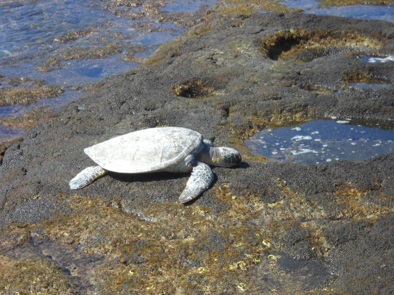 Sea turtle Big Island snorkeling Hawaii