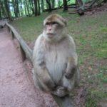Barbary macaque monkeys Kintzheim France
