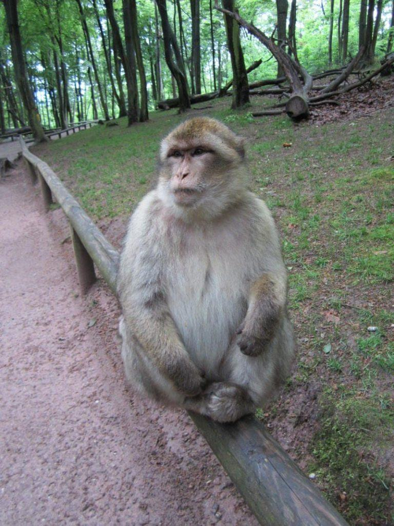 Barbary macaque monkeys Kintzheim France