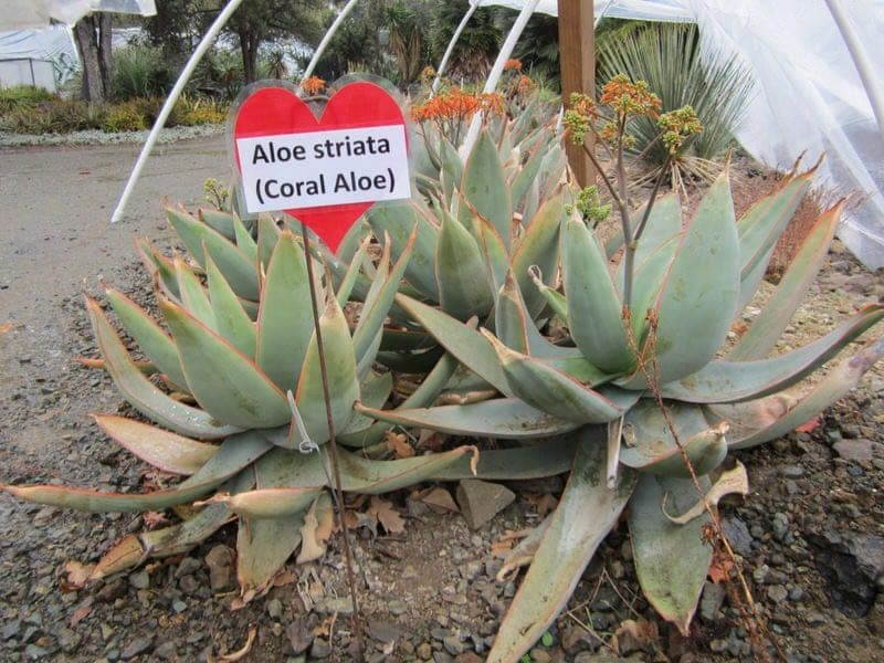 The Ruth Bancroft Garden Walnut Creek California aloe striata coral aloe