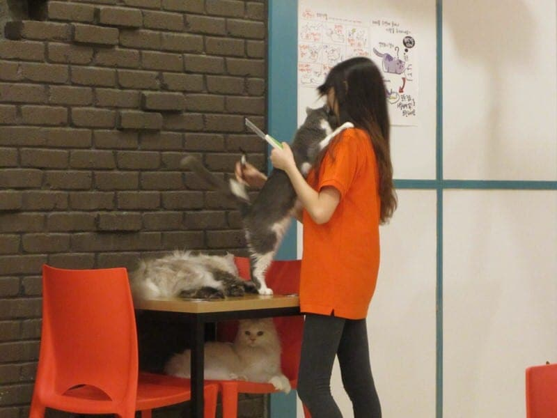 cat cafe in Seoul cat café in Korea