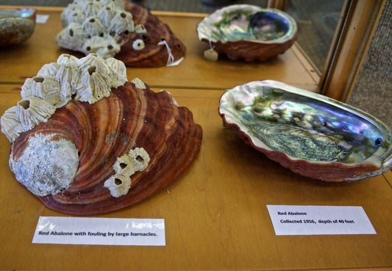 red abalone shell at Morro Bay Museum of Natural History