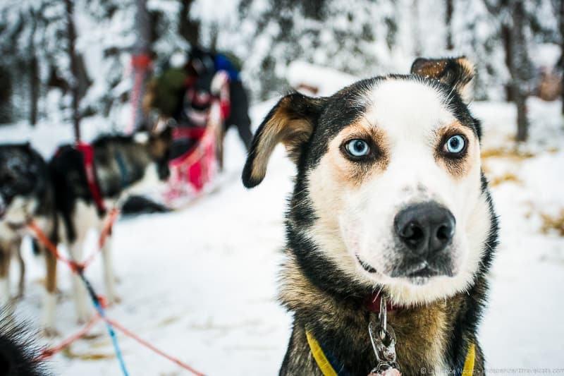 husky ready to run finland lapland - Laurence Norah findingtheuniverse