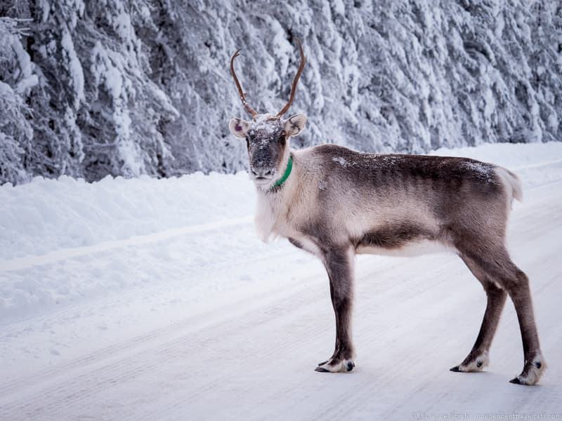 reindeer traveling to Finland in winter