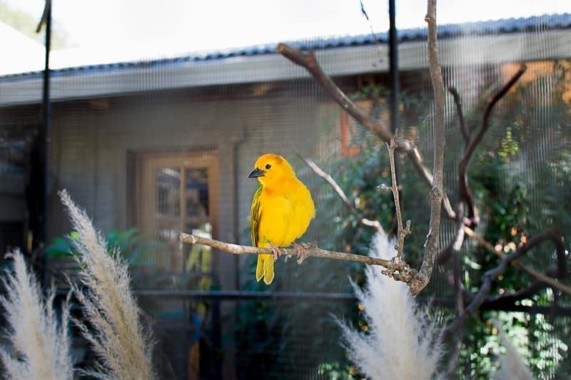 Taveta golden weaver bird Safari West
