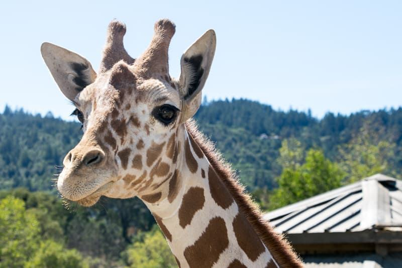 giraffe at Safari West Santa Rosa CA
