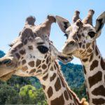 Safari West: An African Safari Experience in Sonoma California