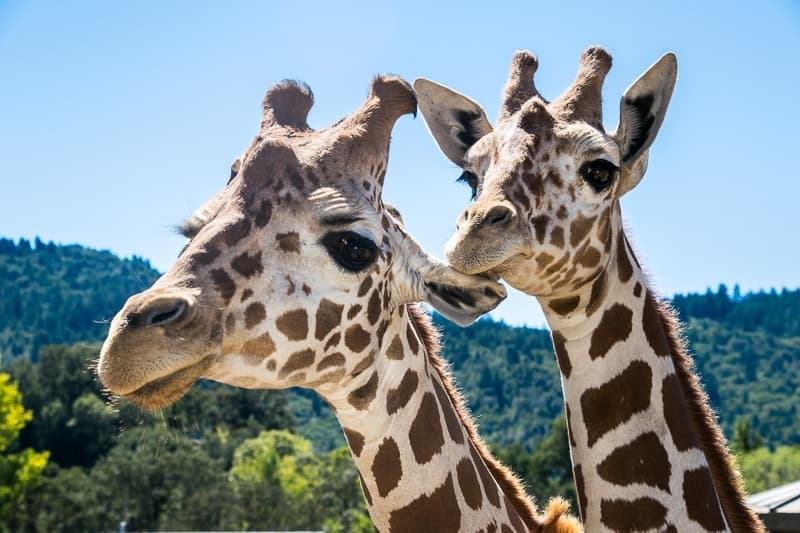 giraffes at Safari West Santa Rosa CA