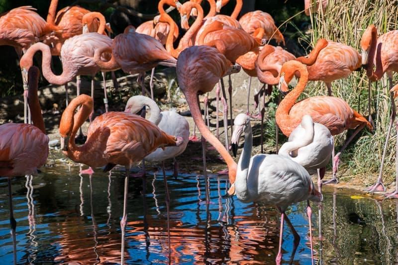 group of pink flamingoes Safari Wes