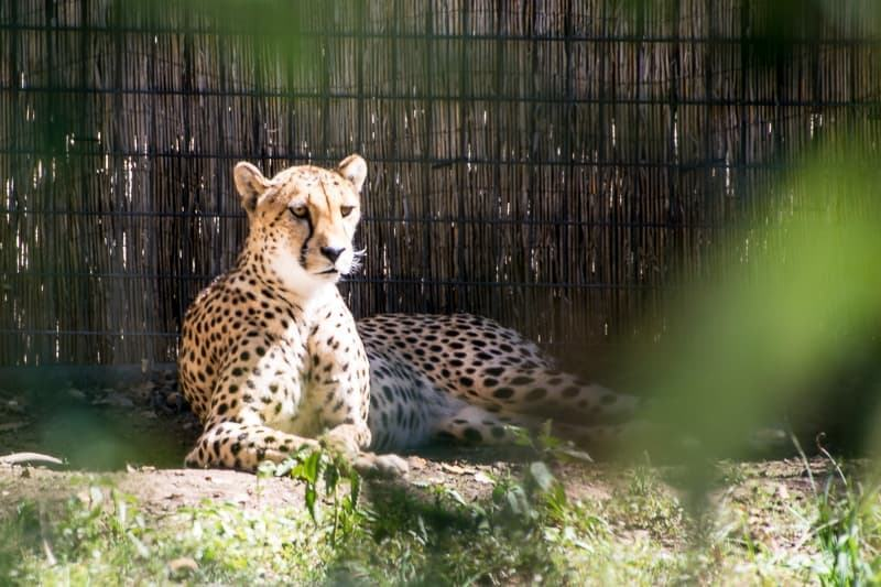cheetah lying down at Safari West