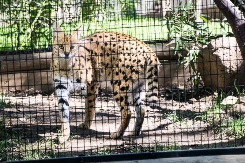 Serval cat at Safari West