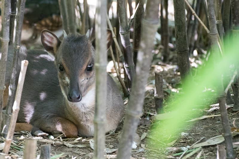 blue duiker at Safari West