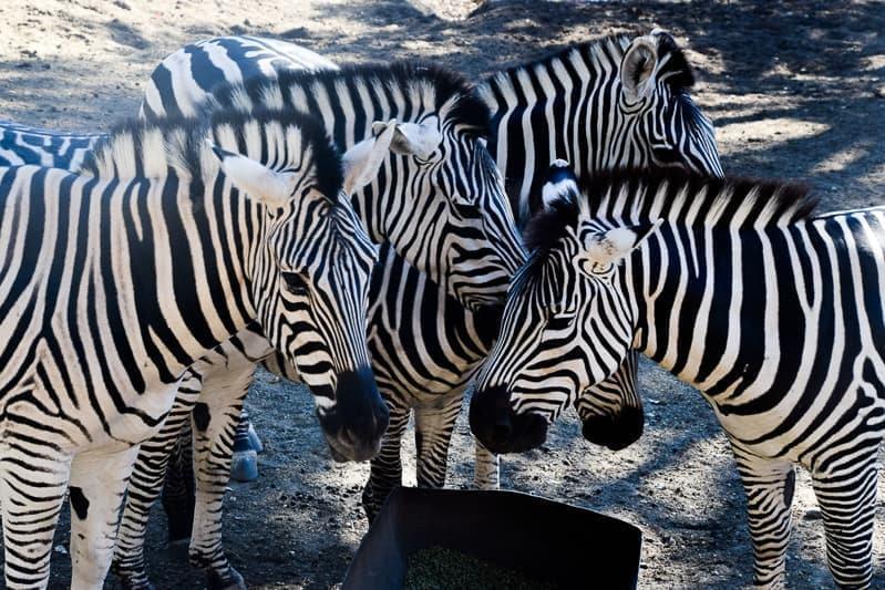 zebras at Safari West