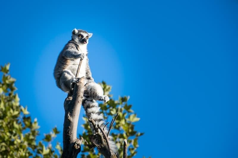 ring-tailed lemur at Safari West