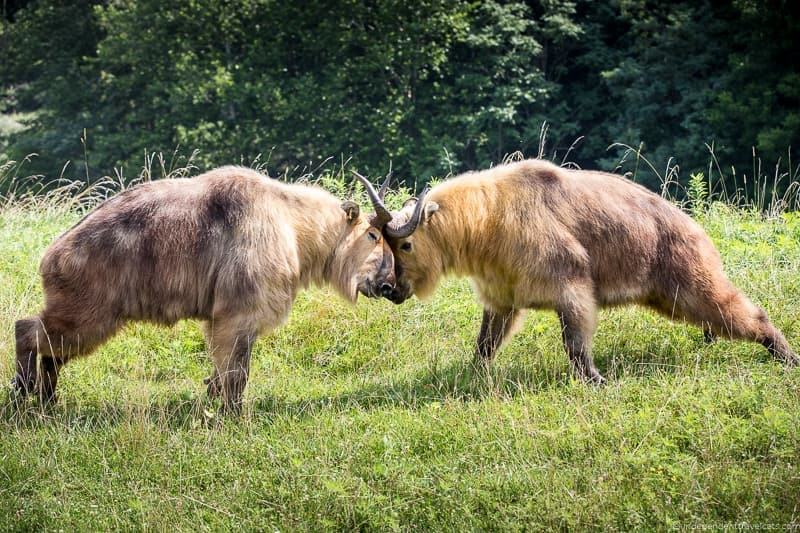 Sichuan takin the Wilds Ohio animal safari park