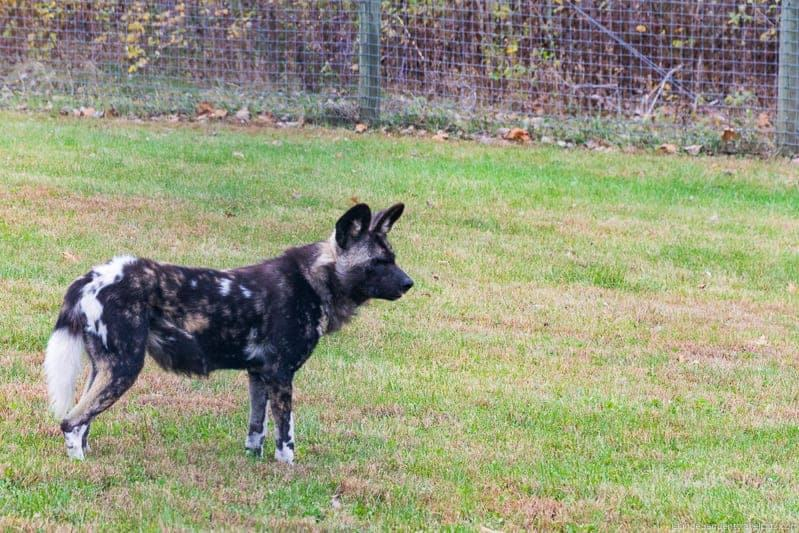 The Wilds African Painted Dog
