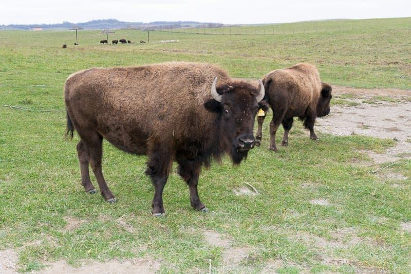 The Wilds Ohio American Bison buffalo