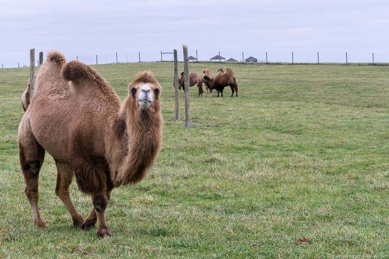 The Wilds Ohio Bactrian Camel