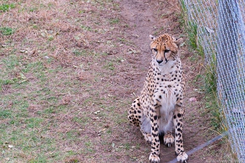 The Wilds Ohio Cheetah 2