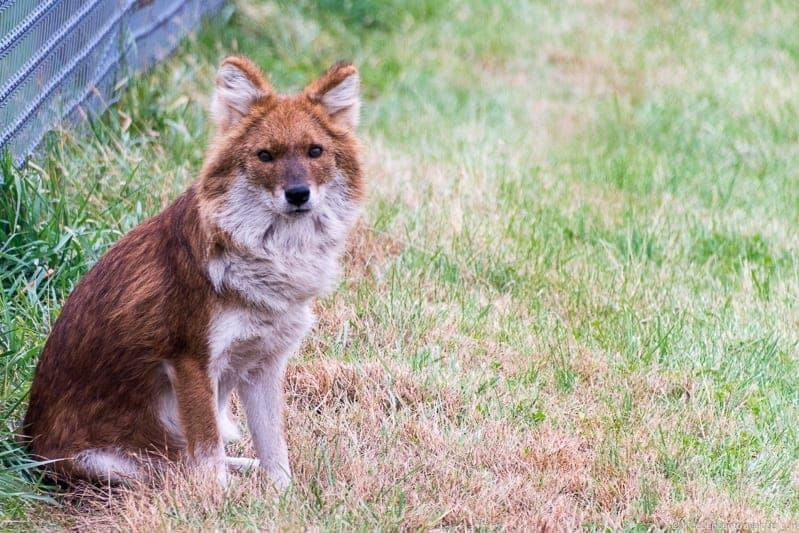 The Wilds Ohio Dhole