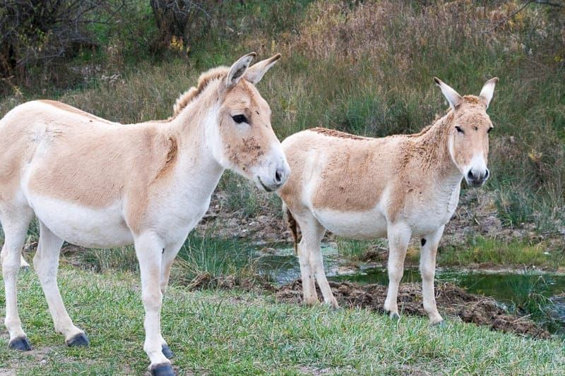 The Wilds Ohio Persian Onager