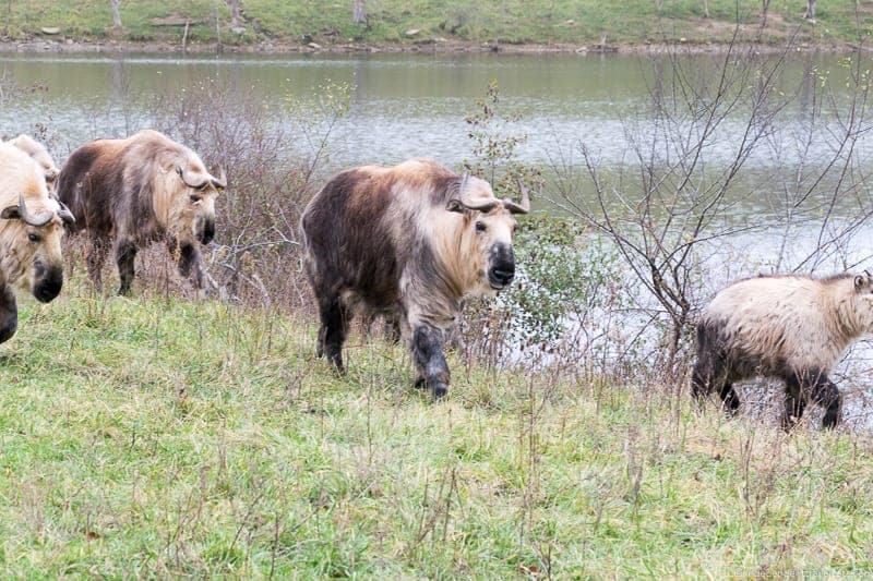 The Wilds Ohio Sichuan Takin