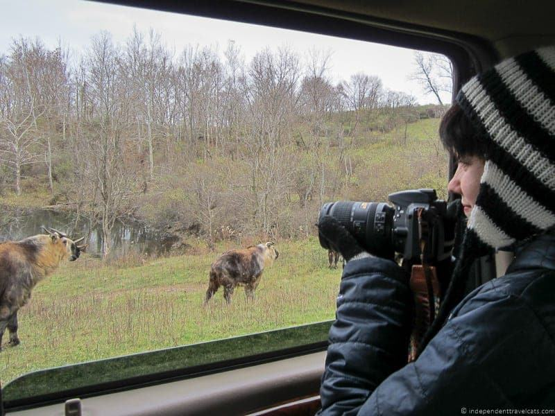 The Wilds Ohio girl taking photo of sichuan takin