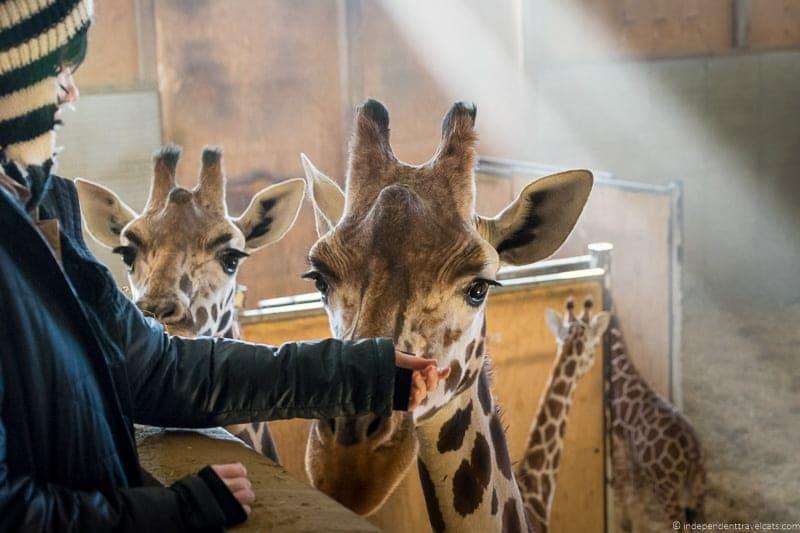 giraffe farm at walnut creek visit amish country ohio