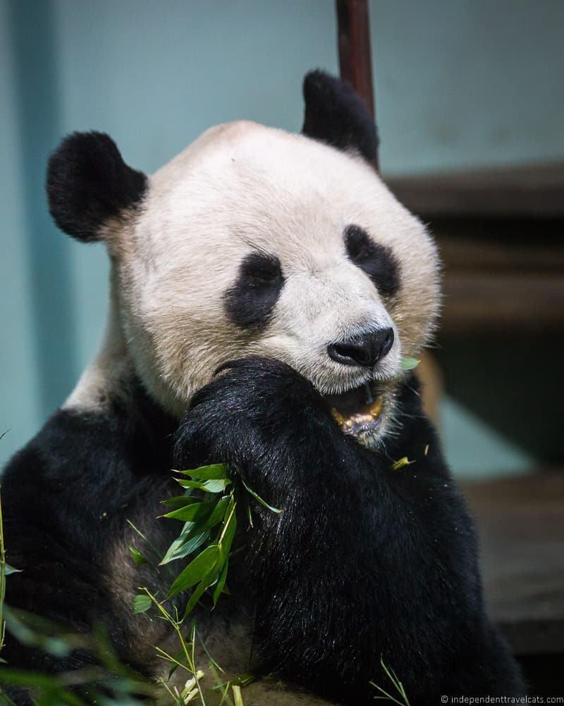 things to do in Edinburgh Edinburgh Zoo panda