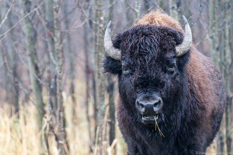 bison things to do in Edmonton Alberta Yeg guide