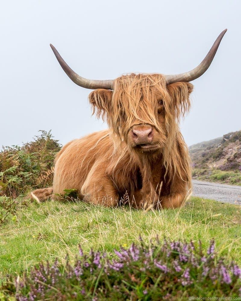 Highland coo Isle of Skye and Scottish Highlands itinerary trip Scotland