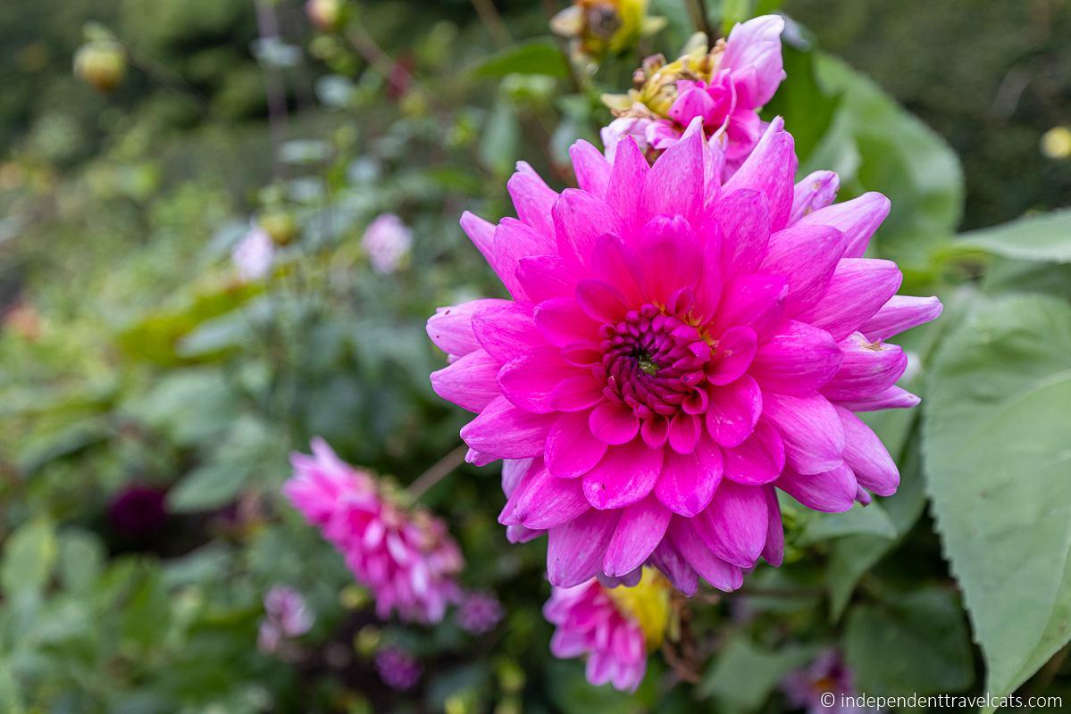 pink flower Wentworth Woodhouse garden