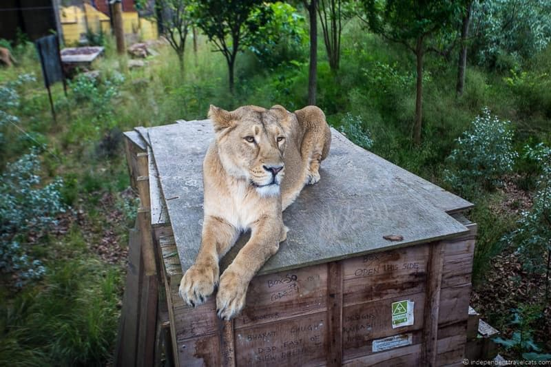 lion London Zoo 6 days in London itinerary