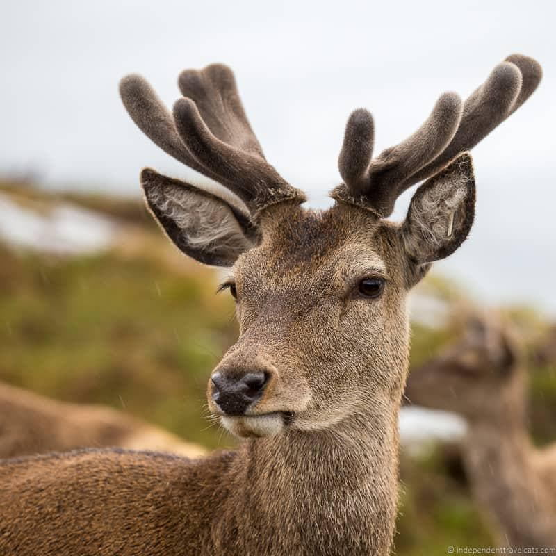 red deer North Coast 500 itinerary Scotland
