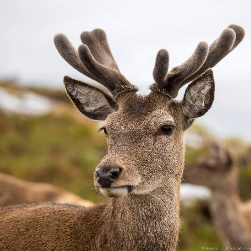 deer North Coast 500 guide Scotland