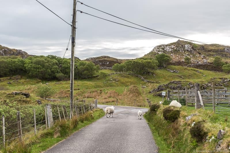 sheep North Coast 500 route guide