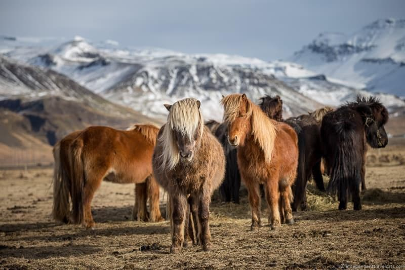Icelandic horses Iceland in winter activities day trips tours