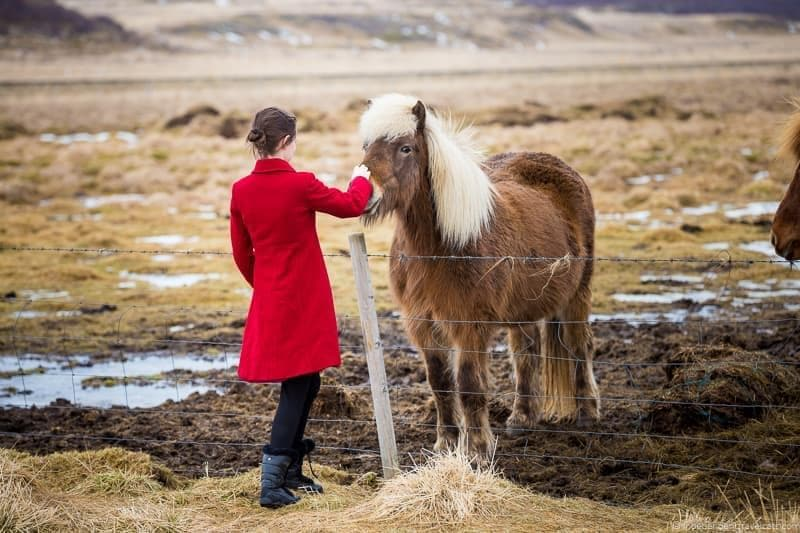 Icelandic horse Iceland in winter activities day trips tours