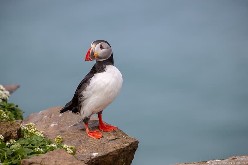 puffin Iceland on a Budget Iceland budget tips how to save money