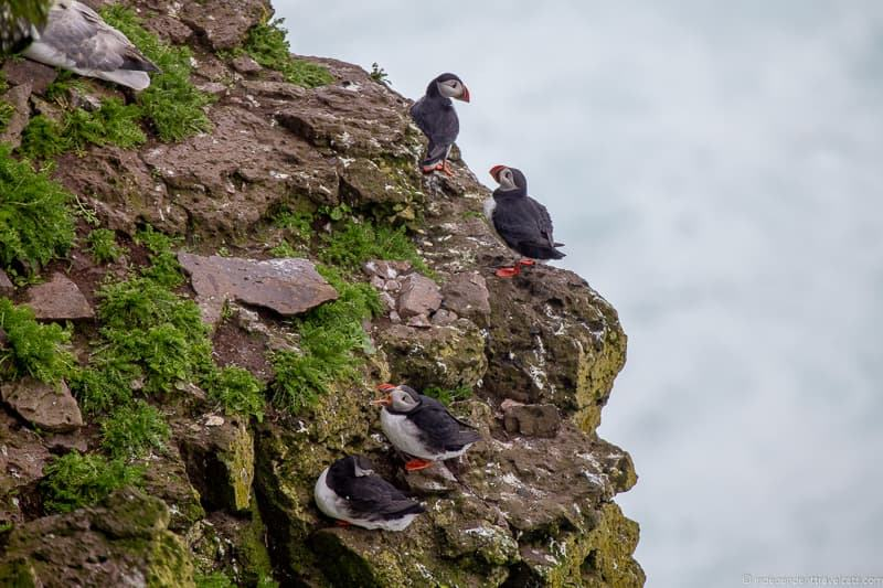Látrabjarg cliffs puffins in Iceland guide Iceland puffin