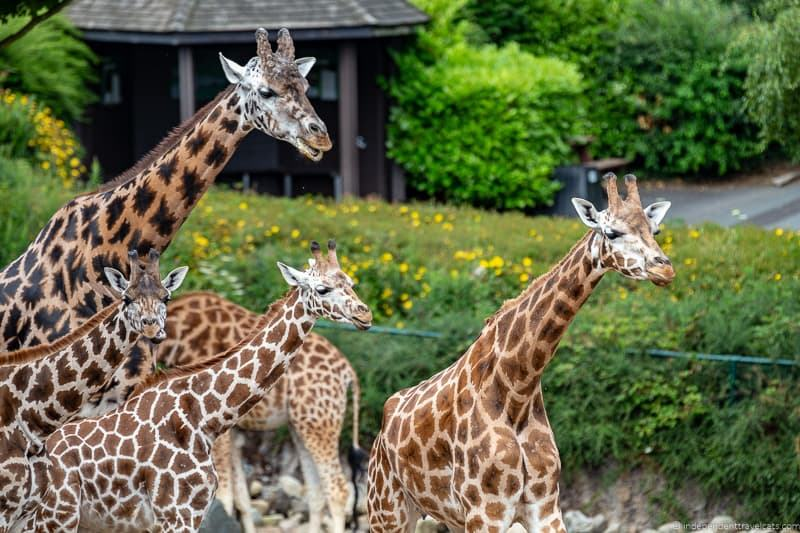 giraffe family Belfast Zoo Northern Ireland things to do in Belfast Ireland travel guide