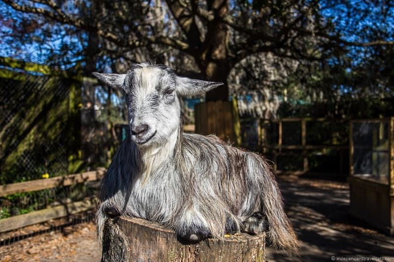 goat Magnolia Plantation Charleston plantations guide South Carolina plantation tours