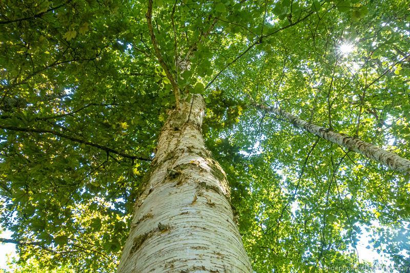 birch tree Isle of Raasay