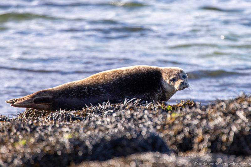common seal harbor seal Isle of Raasay travel guide things to do on the Isle of Raasay