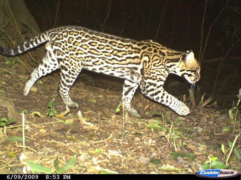 South American tapir at El Pantanoso Reserve Argentina World Land Trust Fundación Biodiversidad-Argentina